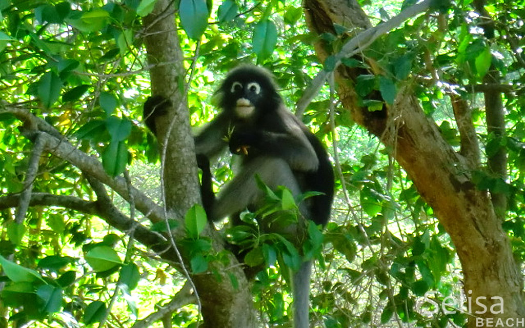 Monkey Selisa beach